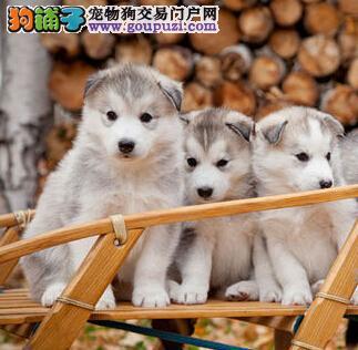自己狗场繁殖超可爱保健康南京哈士奇幼犬 快来选购吧1
