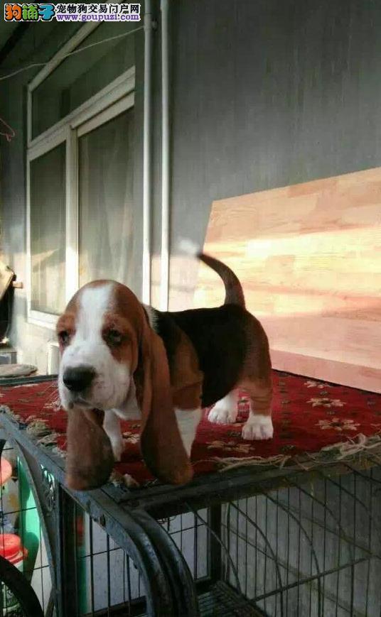 狗场出售健康纯种的巴吉度幼犬喜欢的联系1