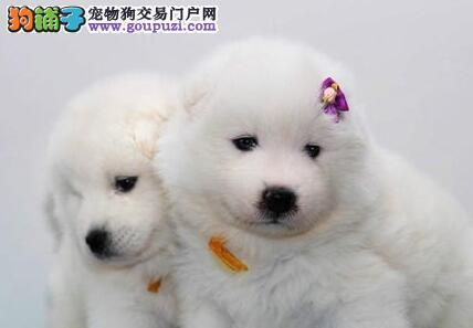 颜色全品相佳的萨摩耶纯种宝宝热卖中欢迎爱狗人士上门选购