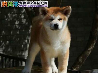 赛级品相天津秋田犬幼犬低价出售优质售后服务图片