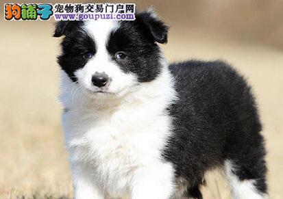 北京售边境牧羊犬 顶级边牧幼犬公狗