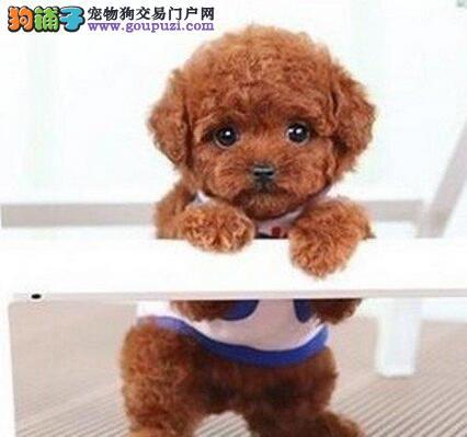 沈阳售高品质泰迪熊标准迷你泰迪犬健康保障养殖场直销