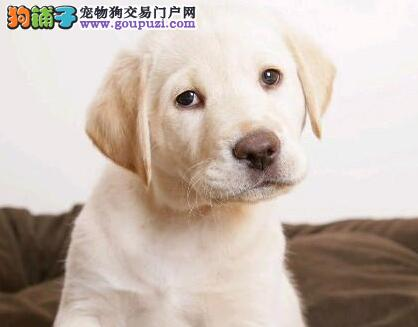 自家繁殖纯种拉不拉多幼犬出售
