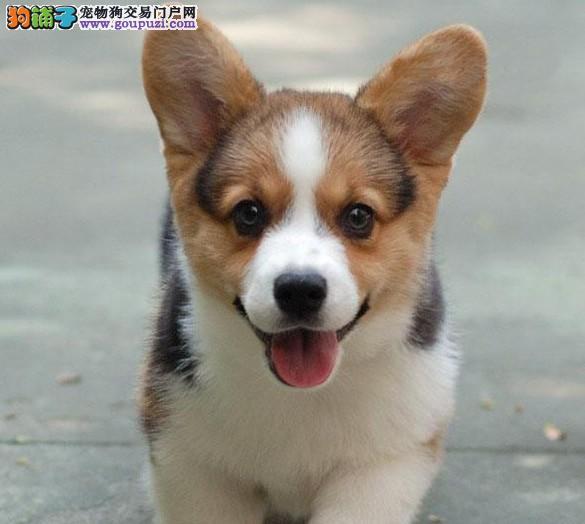 拉萨售赛级柯基威尔士柯基犬幼犬疫苗驱虫已做齐