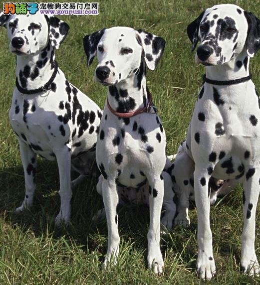 斑点狗幼犬热销中,顶级品质专业繁殖,签订终身合同4