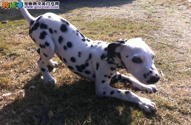斑点狗福州CKU认证犬舍自繁自销国际血统证书