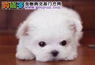 金华专业繁育精品马尔济斯犬签订健康保障合同三重联保