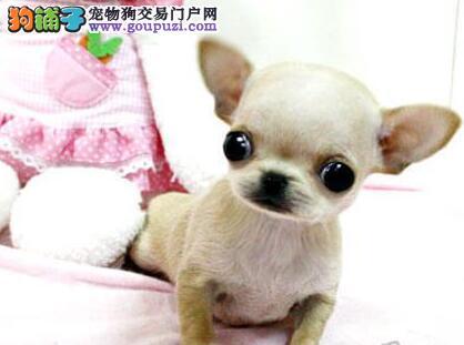 深圳自家犬舍繁殖销售吉娃娃幼犬上门可看父母看视频