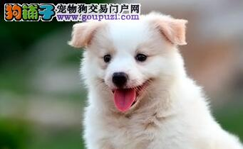 天津售健康边境牧羊犬 边牧幼犬疫苗已做包售后