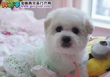 北京售比熊宝贝棉花糖幼犬白色粉扑欢迎选购