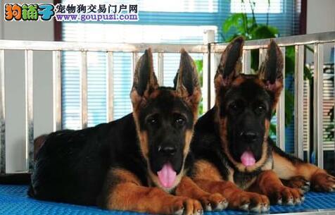 郑州高大威猛帅气凶悍大骨架的德国牧羊犬忠诚看家一流