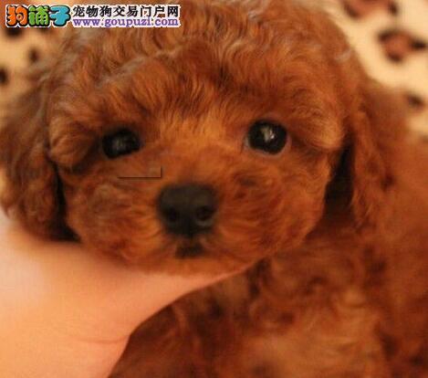 韩系贵宾犬南京自家狗场出售 品质优秀可办理证书