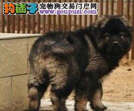 钦州售高加索幼犬血统纯正看家护院的神犬购犬签订协议