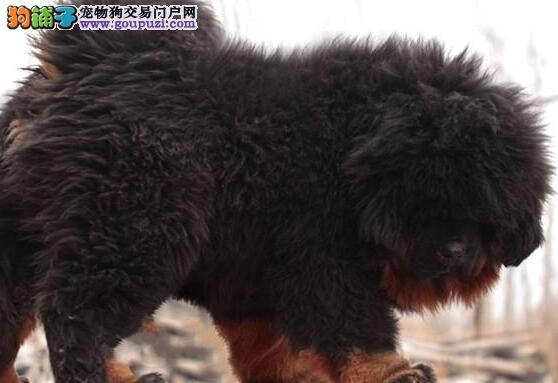 北京狮子头大骨量藏獒幼崽出售 顶级名獒后代 吊嘴吊眼