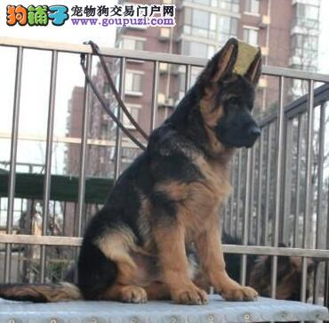 龙岩德国牧羊犬全场特价可送货精品纯种健康终身售后