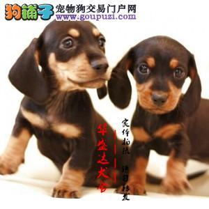 北京最正规腊肠犬基地 完美售后 质量三包 可送货上门
