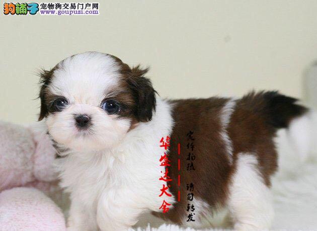 北京最正规西施犬基地 完美售后 质量三包 可送货上门