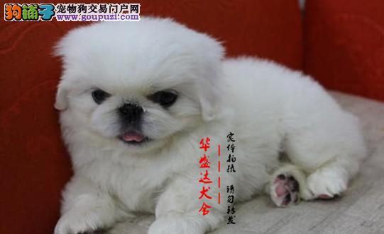 北京最正规京巴犬基地 完美售后 质量三包 可送货上门