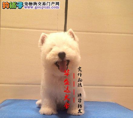 北京最正规西高地犬基地 完美售后 质量三包可送货上门