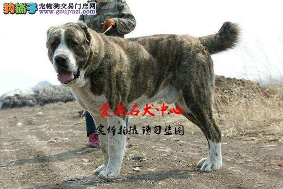 北京中亚牧羊犬基地 完美售后 质量三包 可送货上门3