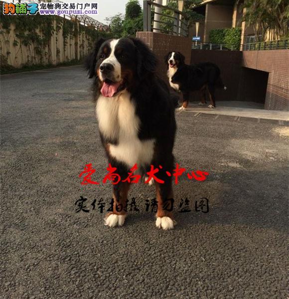 北京最大伯恩山犬基地 完美售后 质量三包 可送货上门