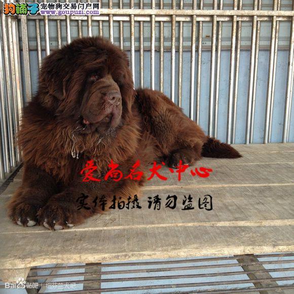 北京最大纽芬兰犬基地 完美售后 质量三包 可送货上门