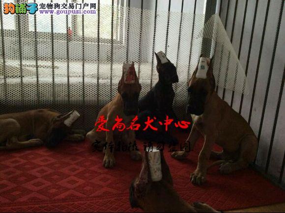 北京最大的大丹犬基地 完美售后 质量三包 可送货上门