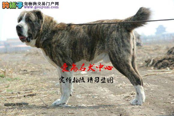 北京中亚牧羊犬基地 完美售后 质量三包 可送货上门2