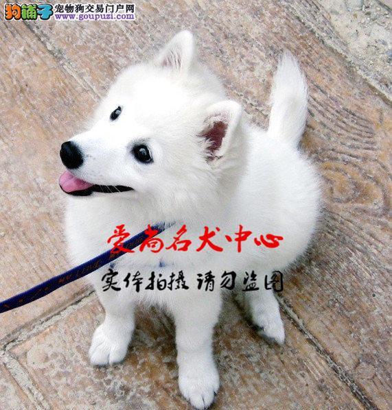北京最大的银狐犬基地 完美售后 质量三包 可送货上门