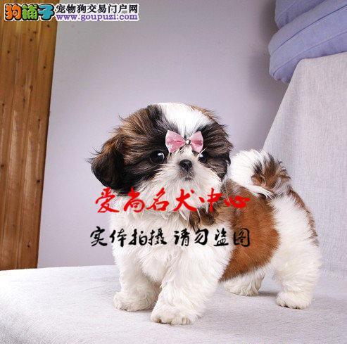北京最大的西施犬基地 完美售后 质量三包 可送货上门