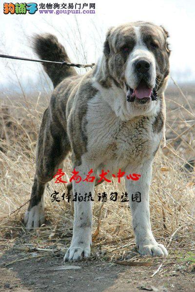 北京中亚牧羊犬基地 完美售后 质量三包 可送货上门