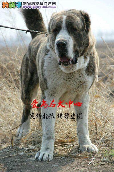 北京中亚牧羊犬基地 完美售后 质量三包 可送货上门1