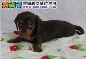 北京最大的腊肠犬繁殖犬舍 质量三包 可签协议