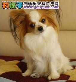 北京最大的蝴蝶犬基地 完美售后 质量三包 可送货上门