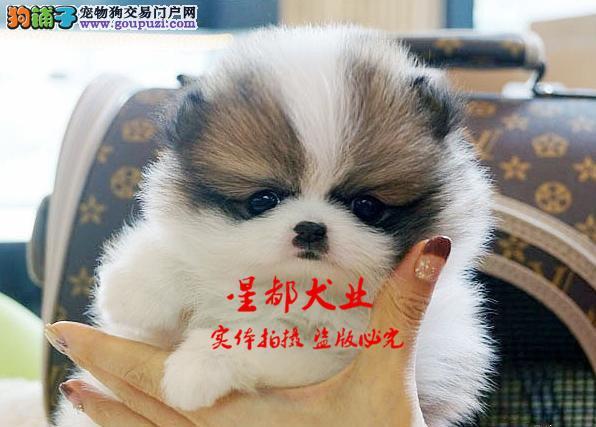 正规犬舍繁殖、诚信交易、纯种西施犬、可签协议
