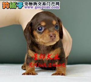 正规犬舍繁殖、诚信交易、纯种腊肠犬、可签协议