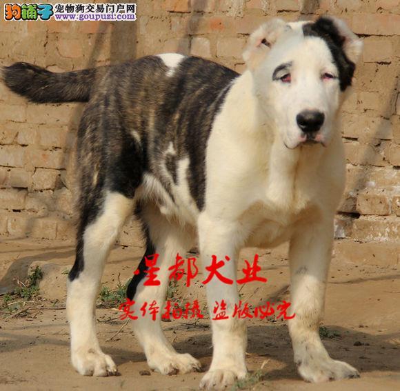 正规犬舍繁殖、诚信交易、纯种中亚犬、可签协议