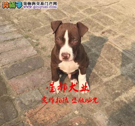 正规犬舍繁殖、诚信交易、纯种比特犬、可签协议