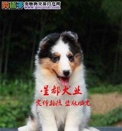 正规犬舍繁殖、诚信交易、纯种喜乐蒂、可签协议
