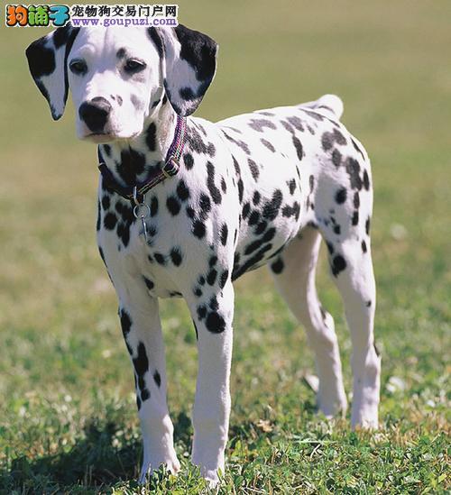 实物拍摄的西安斑点狗找新主人微信咨询看狗狗视频
