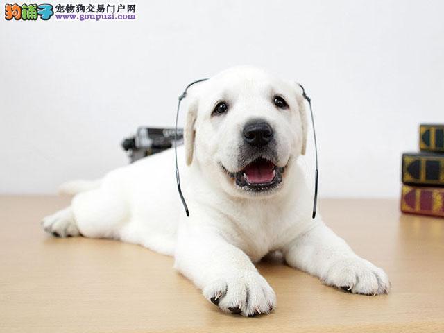 上海神犬小七高品质拉布拉多幼犬宽嘴大骨架毛量足