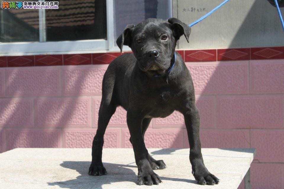 成都正规犬舍高品质卡斯罗犬带证书爱狗人士优先狗贩勿扰2