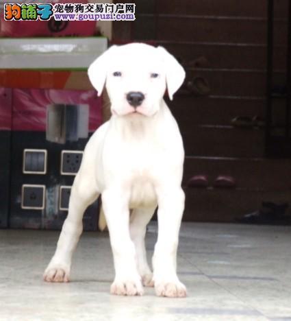 养殖场直销完美品相的杜高犬签协议上门选