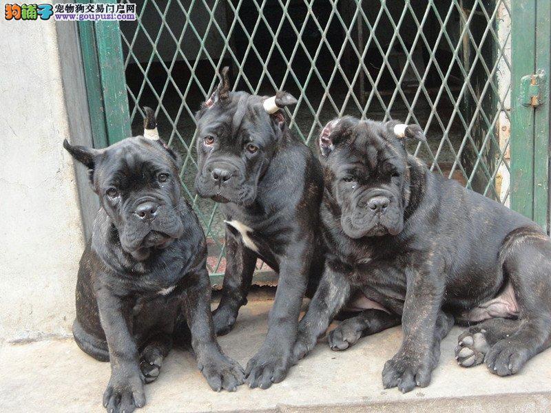 卡斯罗犬  保证纯种健康、签订活体协议、可见狗父母
