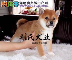 自家直销柴犬宝宝/CKU认证品质绝对保证