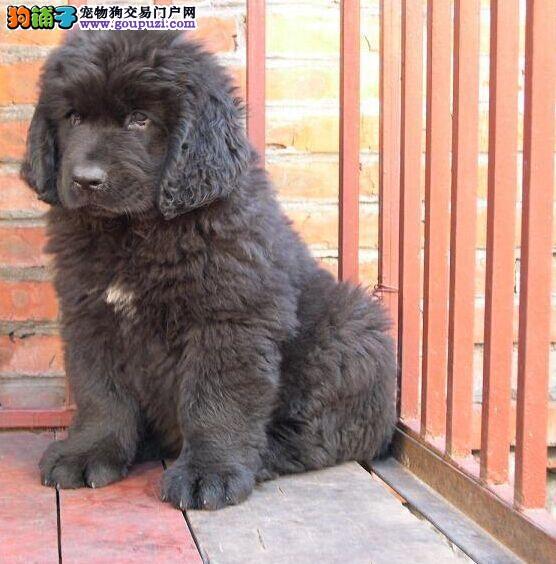 马鞍山威武勇猛纽芬兰幼犬售 帅气纽芬兰犬男人最爱