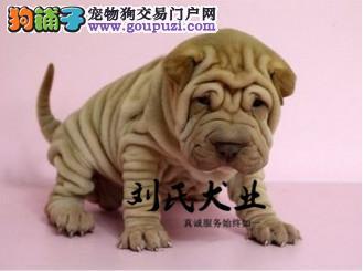 北京人繁殖纯种沙皮 质量三包 贴心售后 可签协议
