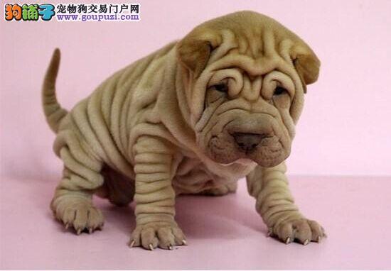 南通市出售沙皮狗幼犬 可视频看狗 全国包邮 纯种健康