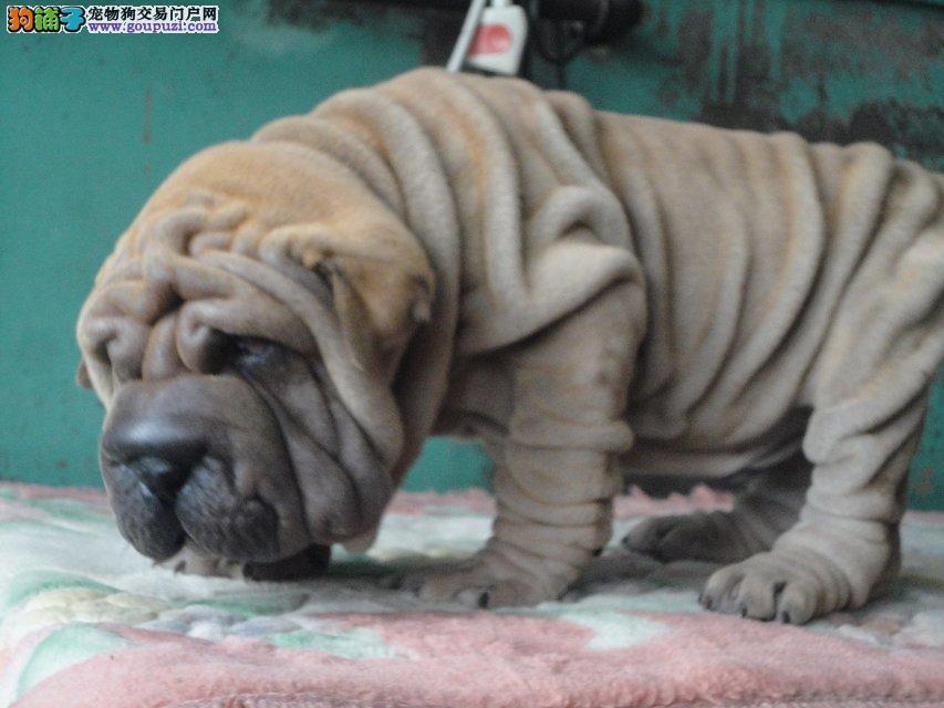 滁州活泼可爱纯种温顺憨厚沙皮幼犬,公母都有,保健康