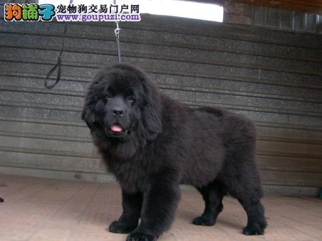 出售正宗血统优秀的长沙纽芬兰犬加微信送用品